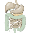 Stock-illustration-20000368-digestive-system